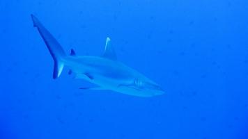Žralok spanilý (Carcharhinus amblyrhynchos)