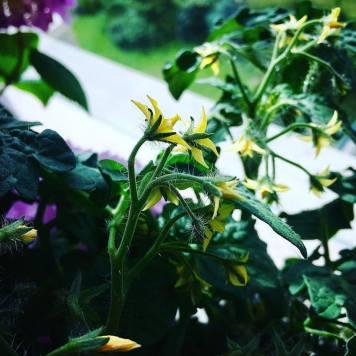 Kvetoucí rajčata